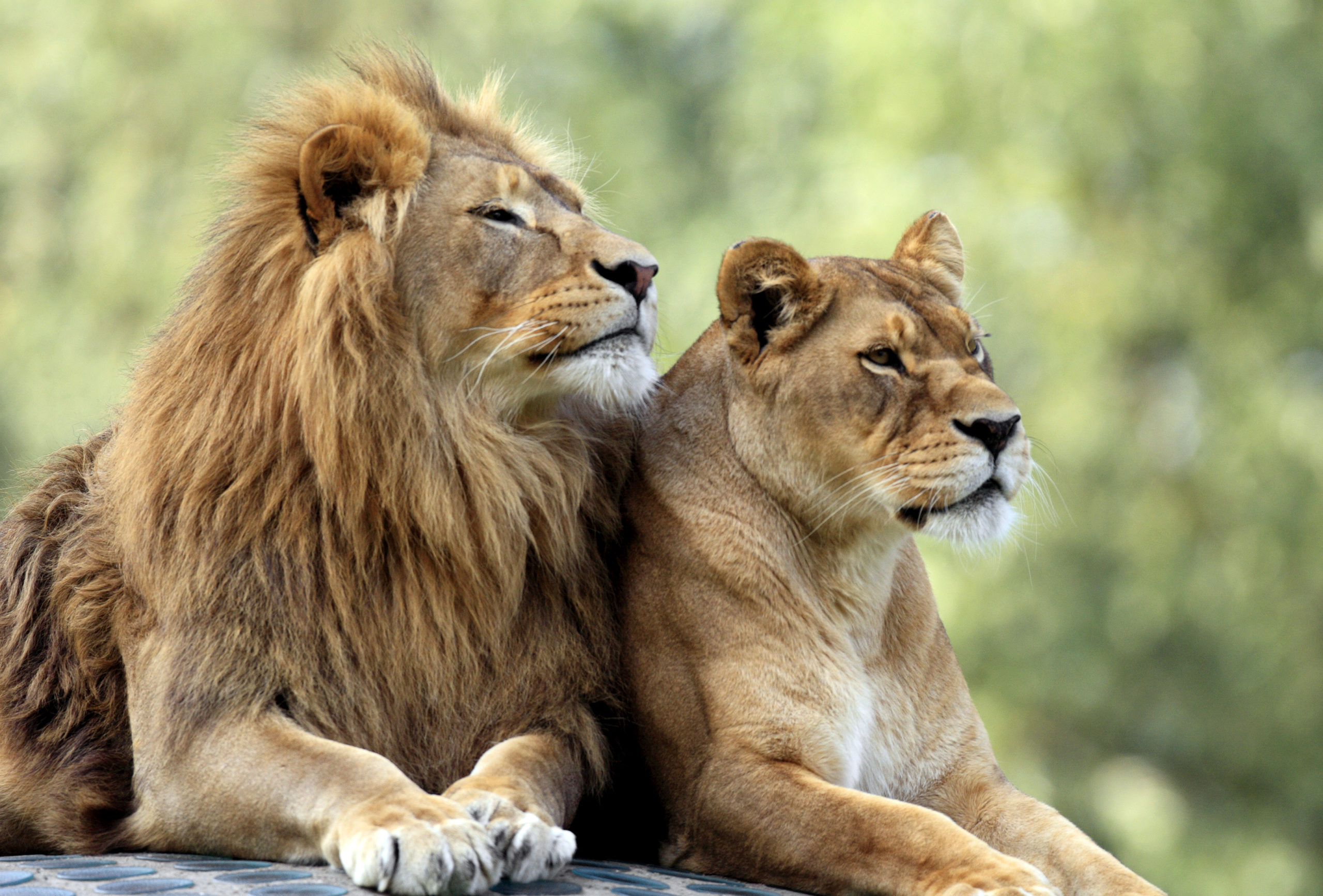Pair of adult Lions in zoo